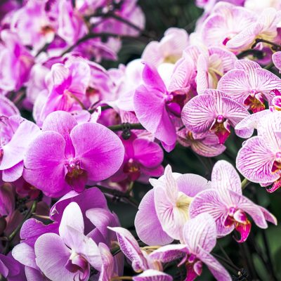 GB_1707_Orchids