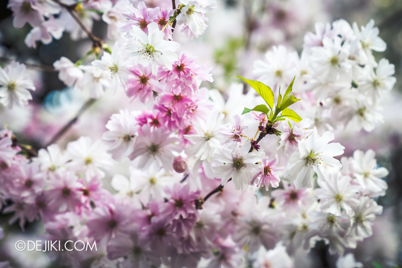 Gardens by the Bay Singapore Sakura Matsuri 2019 - blossom closeup pink and white