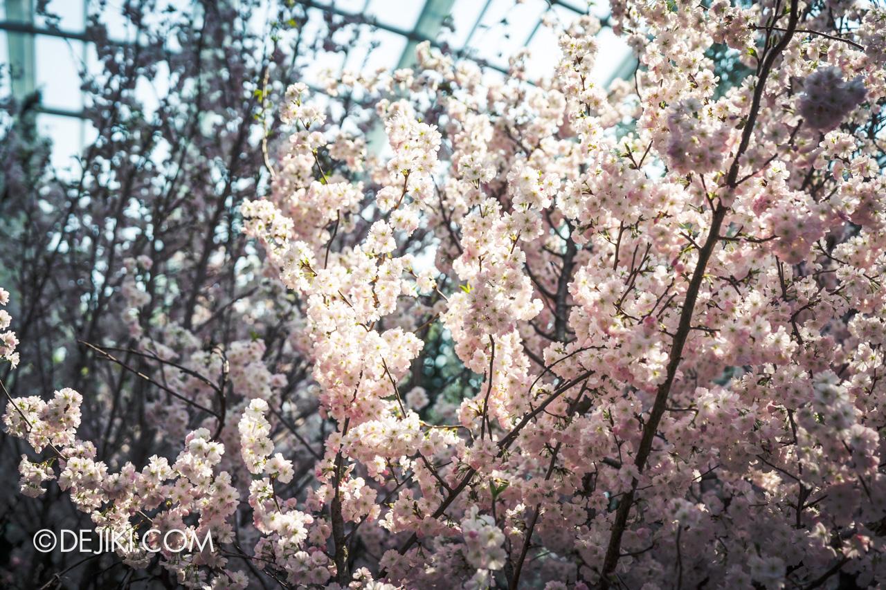 Gardens by the Bay Sakura Matsuri 2020 Flower Field blossom closeup cloudy pinks