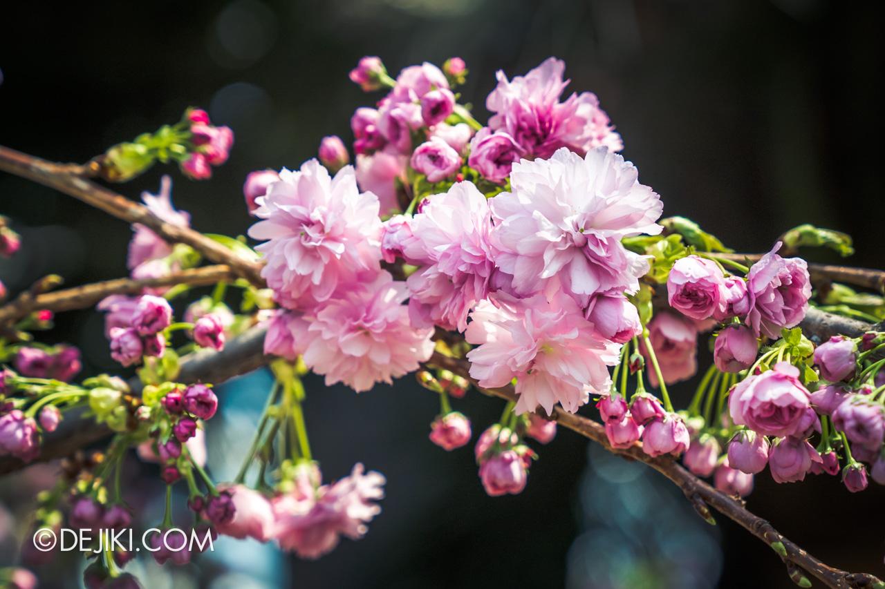 Gardens by the Bay Sakura Matsuri 2020 Flower Field blossom closeup deep pink
