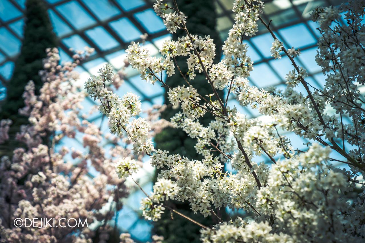 Gardens by the Bay Sakura Matsuri 2020 Flower Field blossom closeup dusty white
