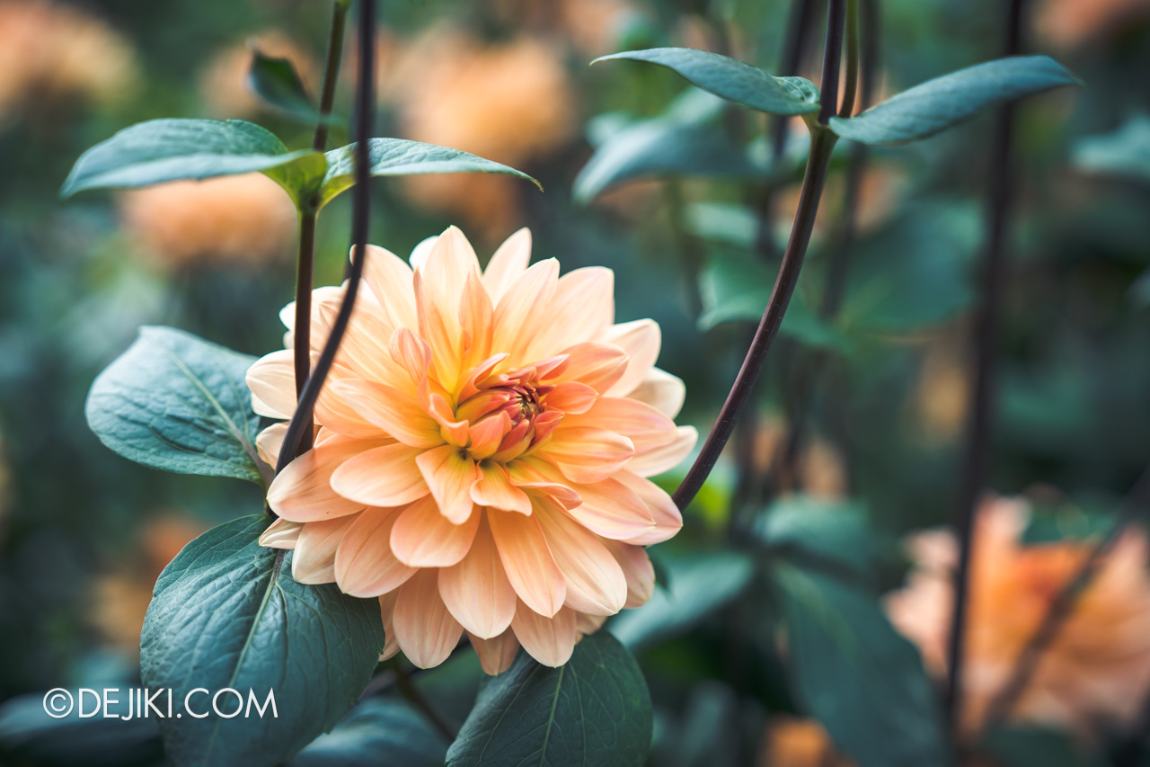 Gardens by the Bay 2021 Dahlia Dreams 4 Flower Field closeup peach decorative