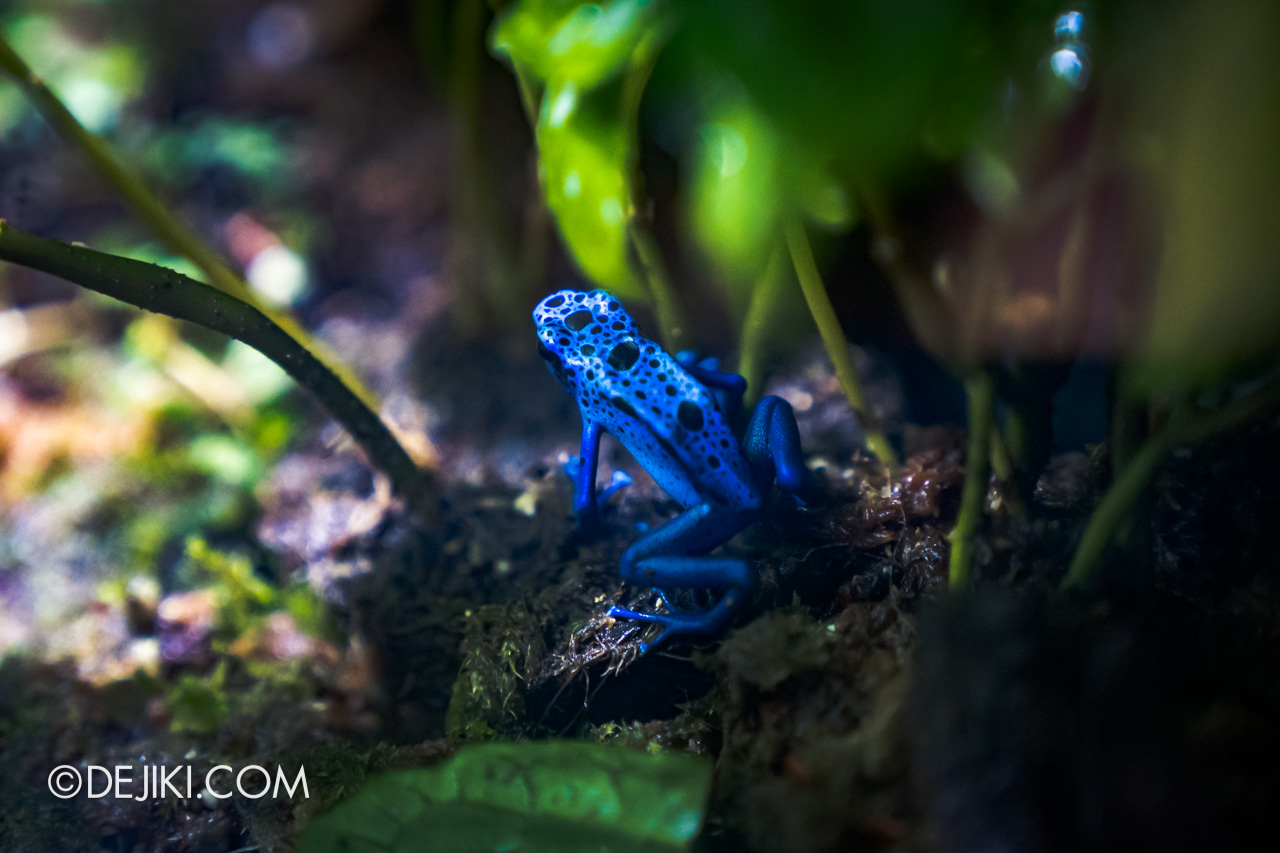 SEA Aquarium 2021 8 Aquatic Ecosystems Poison Arrow Frog closeup